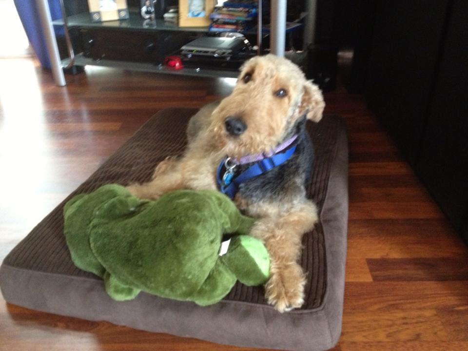 Airedale Gracie